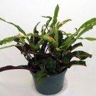 "Dreadlocks Croton - 4"" Pot - Colorful House Plant - Easy to Grow"
