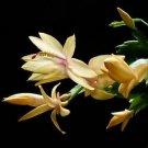 "Yellow Christmas Cactus Plant - Zygocactus - 6"" Hanging Basket"