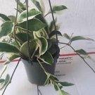 Strawberries & Cream Wax Plant