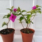 Two Royal Purple Bougainvillea Plant -Indoors/Out or Bonsai / from Jmbamboo