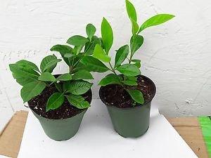 White Gardenia - 2 Set - 4'' pot unique from Jmbamboo