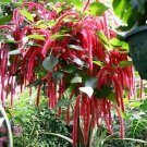 """Chenille Firetail Plant - Cat Tails Plant - Acalypha pendula -Indoors/Out-6"""" Pot"""