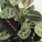 "1 Red and 1 Green Prayer Plant - Maranta - Easy to grow - 4"" Pot"