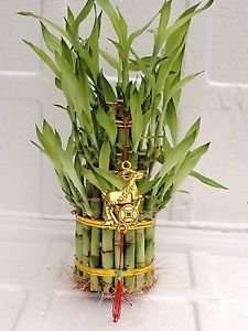 "3 Tier 4"" 6"" 8"" Top Quality Lucky Bamboo For Feng Shui (Total About 38 Stalks)an"
