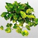 "Golden Devil's Ivy - Pothos - Epipremnum - 4"" Hanging Pot - Very Easy to Grow"