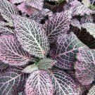 """Pink Veined Nerve Plant - Fittonia - Easy House Plant - 4"""" Pot (FREE SHIPPING)"""