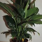 "1-peace Lily Plant - Spathyphyllium - Great House Plant - 6"" Pot"