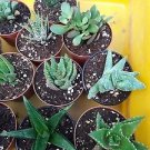 """Haworthia Collection 8 Plants - Easy to Grow/hard to Kill - 3"""" Pot From Jmbamboo"""