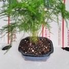 Fern Leaf Plumosus Asparagus Fern - Bonsai Pot 4x4x2 - Easy to Grow - Great Hous