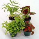 "collection-Terrarium & Fairy Garden Plants - 5 Plants in 2"" pots"