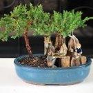 bonsai- Juniper Tree Zen Garden With Pool Fishman