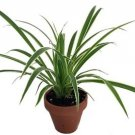 "Hirt's Reverse Variegated Spider Plant - 4"" Clay Pot for Better Growth"