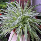 """Reverse Variegated Spider Plant - 4"""" Clay Pot (FREE SHIPPING)"""