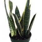 "Snake Plant, Mother-In-Law's Tongue - Sanseveria - 6"" Pot"
