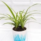 mothers gift - Reverse Variegated Spider Plant - Easy to Grow - Cleans the Air -