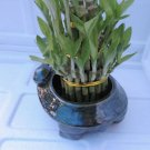"3 Tier 4"" 6"" 8"" Top Quality Lucky Bamboo (FREE SHIPPING)"