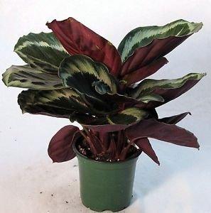"Rose Painted Prayer Plant - Calathea - Easy - 6"" Pot"