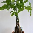 "5 Money Tree Plants Braided into 1 Tree -Pachira-4"" clay pot for better growth b"