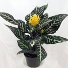 "Zebra Plant - Aphelandra - Exotic & Unusual House Plant - 5"" Pot"