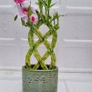 Live 8 Braided Style Lucky Bamboo Plant Arrangement with green Vase