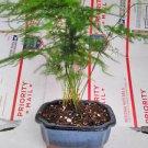 Fern Leaf Plumosus Asparagus Fern - Bonsai Pot 4x4x2 (FREE SHIPPING)
