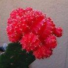 Fair- Moon Cactus Gymnocalycium Mihanovichii - 4'' pot