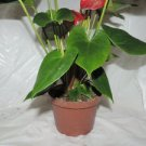 Red Anthurium- alabama large flowers 18 inches tall (FREE SHIPPING)