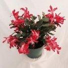 "Hirt's Red Christmas Cactus Plant - Zygocactus - 6"" Pot"