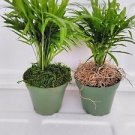 "Two Large-Victorian Parlor Palm - Chamaedorea with moss 4"" Pot"