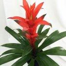 "Orange Blazing Star Vase Plant - 6"" Pot - Guzmania ostara - Bromeliad"