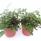 """Two Button Fern - Pellaea - Easy to Grow 4"""" Pot"""