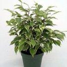 Java Starlight Weeping Fig Tree - Indoor or Bonsai -Ficus