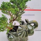 Japanese Juniper Bonsai Tree Fluffy Elephant 4.5 Vase (FREE SHIPPING)