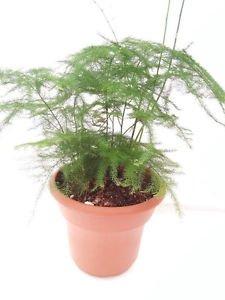 "Fern Leaf Plumosus Asparagus Fern 4.5"" Unique Design Pot - FREE SHIPPING"
