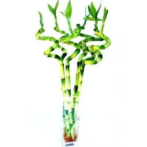 6 Pieces of 12 Inches Spiral Lucky Bamboo in a Glass Vase