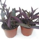 """Two Purple Heart Plant Setcreasea Indoors or Out Easy 4"""" Pot"""