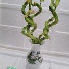 Live Spiral 5 Style Lucky Bamboo Plant Arrangement with Vase Diamond Ceramic Va