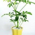 Hawaiian Umbrella Schefflera Tree - Ceramic yellow color Pot and Pebbles