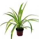 "Ocean Spider Plant - Easy to Grow - Cleans the Air - NEW - 3.5"" Pot"