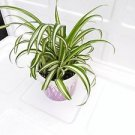"mothers gift - Ocean Spider Plant - Easy to Grow - Cleans the Air - NEW - 4"" cer"