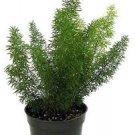 """Foxtail Fern - Asparagus meyeri - 4"""" Pot"""
