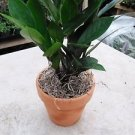 "Zz Plant - Zamioculcas Zamiifolia with Moss - 4"" Clay Pot for Better Growth - Cl"