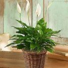 Spathiphyllum Plant for Sympathy - Small