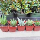 "4 Different Aloe Plants - Easy to Grow/hard to Kill! - 3"" Pots"