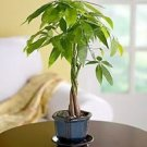 Good luck Money Bonsai Tree (INDOORS) (FREE SHIPPING)