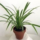 """Reverse Variegated Spider Plant - 4"""" Clay Pot for Better Growth - Cleans the Air"""