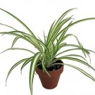 "Ocean Spider Plant - 4"" Clay Pot for Better Growth - Cleans the Air/Easy to Grow"