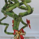 "lucky bamboo Decorated -Indoor Christmas-4"" Pot w/ Glass Vases (FREE SHIPPING)"