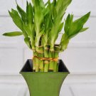 "2 Tier Lucky Bamboo - 6"" & 4"" - With 5'' vase Moss Green Color (FREE SHIPPING)"