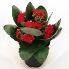 "Christmas Rosebud Red Kalanchoe' 4"" Pot - In Bud and Bloom (FREE SHIPPING)"